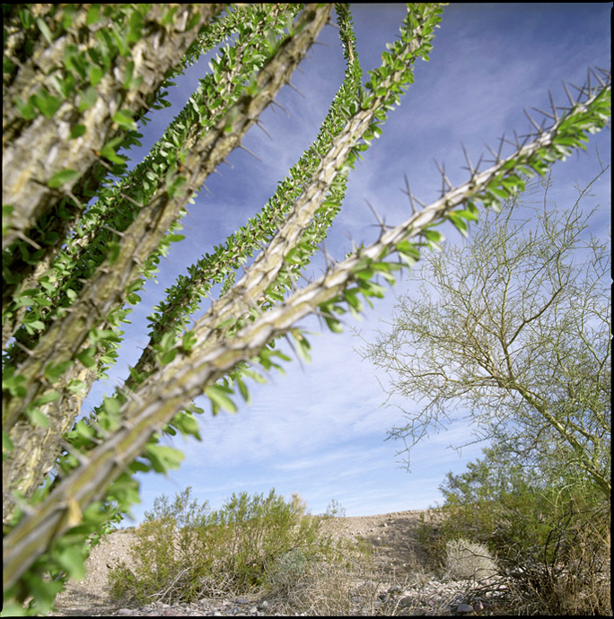 mohave-ocotillo