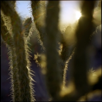 sunset-cholla