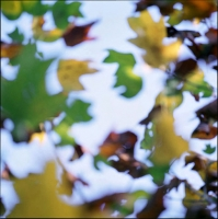 tulip-poplar-fall-leaves