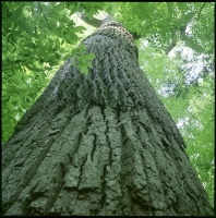 old-growth-tulip-poplar