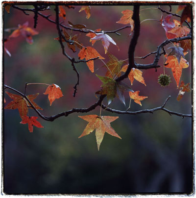 Color Sweetgum